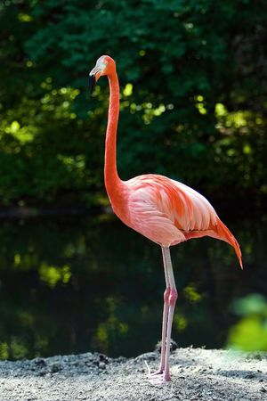 ornage: One Flamongo standing on a rock in the water Stock Photo