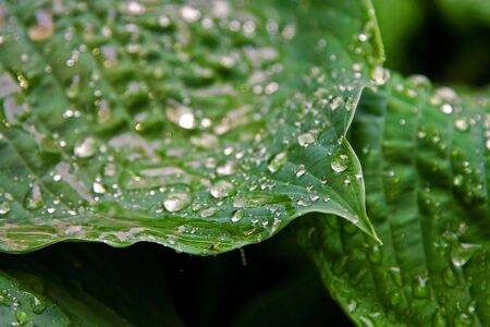 precipitate: Big green leaves with drops of water after a rain storm