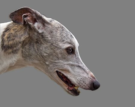 Side view of the beautiful face of a white with gray and brown Greyhound isolated on gray