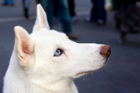 huskys: A white Huskys head shot from the side, showing his blue eye. Stock Photo