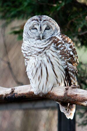 Barred Owl with eyes closed sitting on branch 版權商用圖片