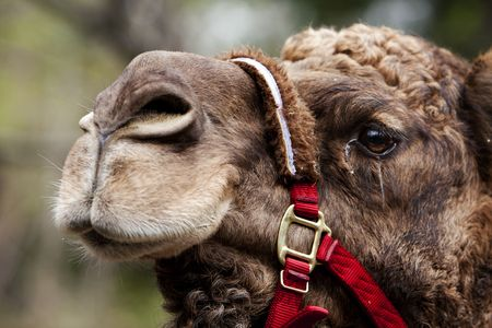 rein: African Mongolian camel dromedary face in captivity with red rein.