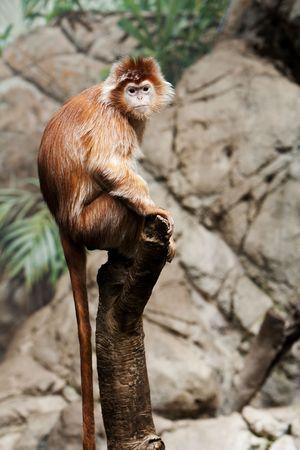 Cute Indonesian endangered Ebony Langur monkey ape sitting on tree branch. photo