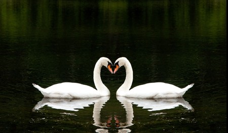 Two beautiful white swans romantically together creating a heart shape in a lake.