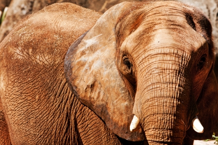 Face of Beautiful endangered African elephant with short ivory tusks.