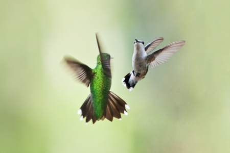 Two beautiful hummingbirds in flight doing their playful mating dance or fighting on a green blurred background of vegetation plants.