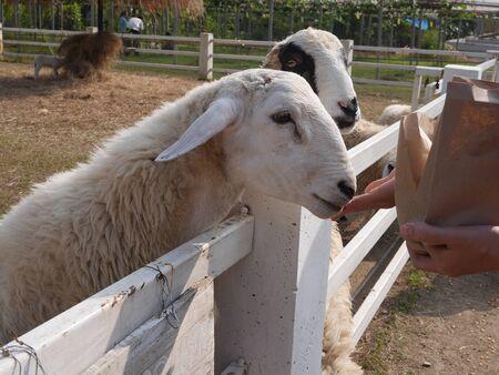 Let the sheep feed on the farm. 版權商用圖片