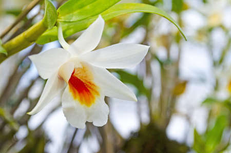 White orchid flower photo