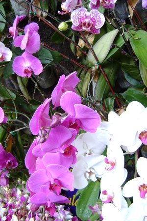 orchids  thailand photo