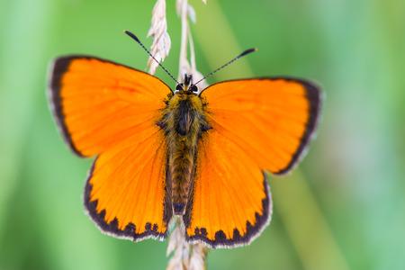 Scarce copper butterfly Lycaena virgaureae Stock Photo