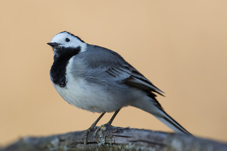 wagtail: White wagtail bird