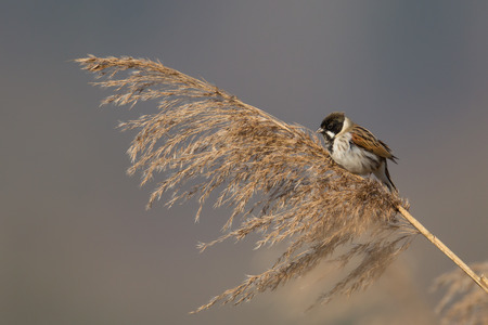 Reed bunting Emberiza schoeniclus Imagens