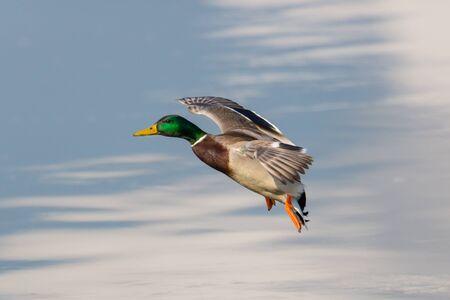 platyrhynchos: landing male northern mallard duck Anas platyrhynchos platyrhynchos on beautiful background Stock Photo