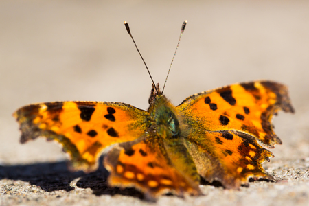 nymphalis: Polygonia calbum  Nymphalis calbum Stock Photo