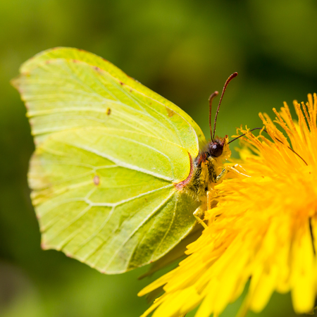 rhamni: Brimstone Butterfly Gonepteryx rhamni Stock Photo