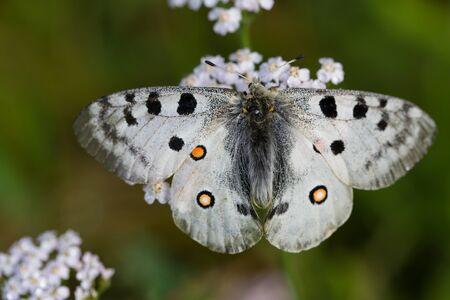apollo: Apollo butterfly Parnassius apollo