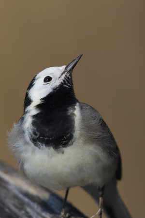wagtail: wagtail looking curious Stock Photo