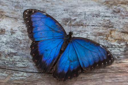 Morpho Blue Butterfly Morpho peleides Archivio Fotografico - 40594840