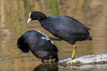 fulica: Two Eurasian coots Fulica atra starting copulation