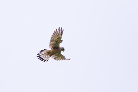 Common kestrel during stationary flight Stock fotó
