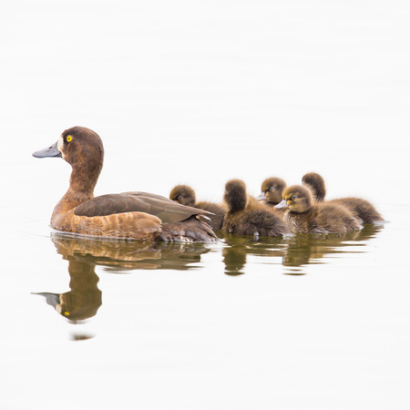 Female tufted duck with offspring Stock Photo