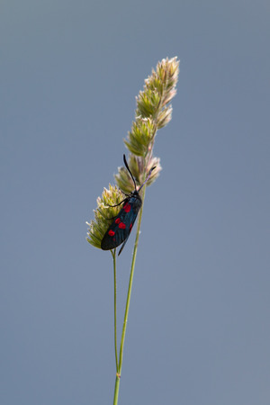 zygaena: Sixspot burnet on isolated grass stalk Stock Photo