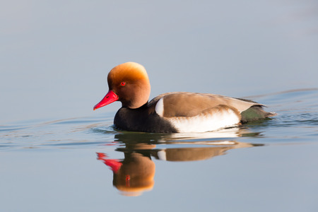 reflected: Male red-crested pochard (Netta rufina) swimming and reflected in the water surface Stock Photo