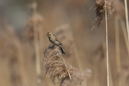common reed: Female (common) reed bunting (Emberiza schoeniclus) sitting on a reed stalk