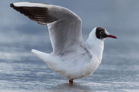 ridibundus: common black-headed gull (Chroicocephalus ridibundus, Larus ridibundus) standing in the water Stock Photo