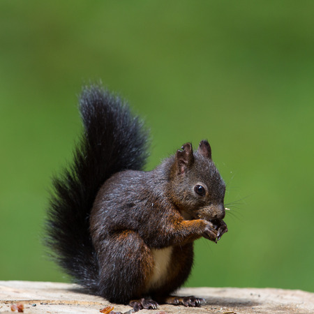 wildanimal: Eurasian red squirrel (Sciurus vulgaris) with a nut sitting on a tree stalk
