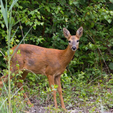 capreolus: Young european western roe deer (Capreolus capreolus) Stock Photo