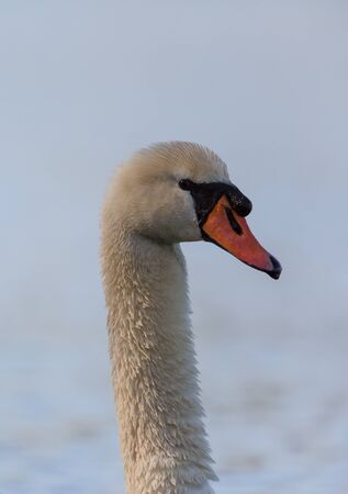 olor: Portrait of a mute swan (Cygnus olor)