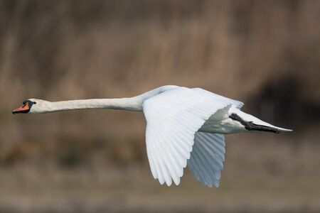 olor: Mute swan (Cygnus olor) flying