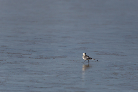 ice surface: White wagtail (Motacilla alba) walking on ice surface