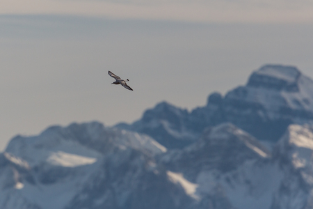 black headed: Black headed gull with mountains