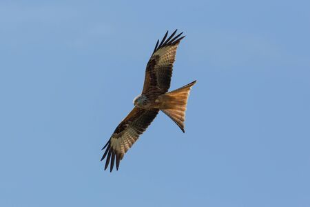 milvus: Red Kite (milvus milvus) during flight Stock Photo