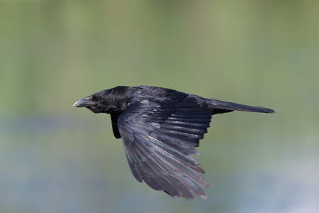 carrion: carrion crow during flight with full speed
