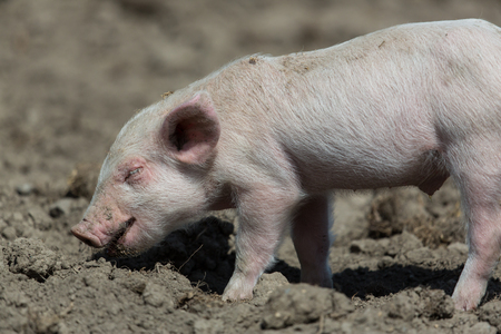 nosey: Baby pig standing on ground