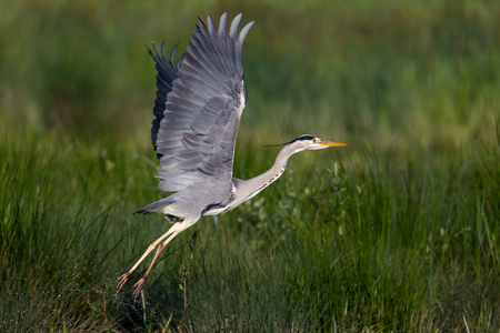 take off: Take off of grey heron Stock Photo