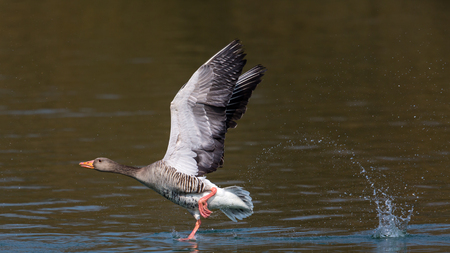 Grey goose (Anser anser) running on the water surface