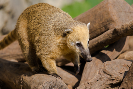 Portrait of ring-tailed coati (Nasua nasua)
