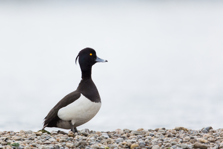 standing stone: Portrait of male tufted duck (Aythya fuligula) standing on stone beach