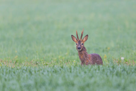 Young roebuck standing in meadow and looking curious