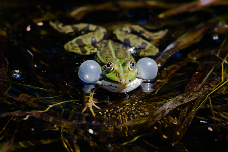croak: Front view of green frog with balloons while croaking