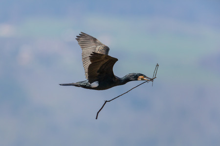 nestle: Flying great cormorant (Phalacrocorax carbo) with branch in beak