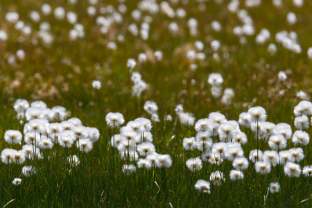 bogs: Blooming natural cottongrass (Eriophorum) within green grass Stock Photo