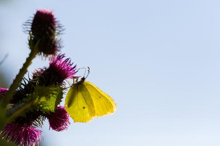 yellow common brimstone butterfly (Gonepteryx rhamni) in backlight