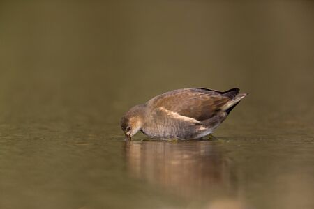 young common moorhen (Gallinula chloropus) standing in the water