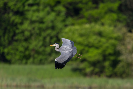 cinerea: Grey Heron (ardea cinerea) during flight with natural green background