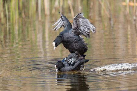 coot: Two Eurasian coots (Fulica atra) during copulation in natural environment Stock Photo